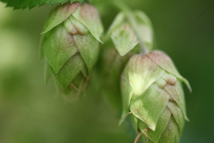Fresh hops up close